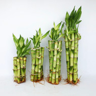"8"" Straight Lucky Bamboo Stalks (Select 10, 50, 100 pack)"