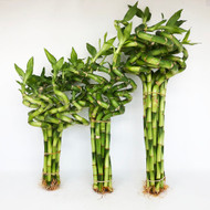 """8"""" Spiral Lucky Bamboo Stalks (Select 10, 50, 100 pack)"""