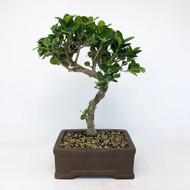 Green Island with Fantastic Trunk Movement and tight growth. (TWEB242) FREE SHIPPING