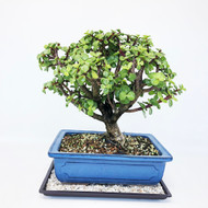 Super Cool Jade with lots of great branching. (TWEB257) FREE SHIPPING