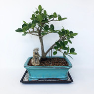 Ideal Window Sill Green island Ficus with Aerial Roots. (TWEB259) FREE SHIPPING