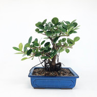 Lush Green island Ficus with Aerial Roots. (TWEB279) FREE SHIPPING