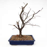 Ready to Bud Chinese Elm var. 'Allee. (TWEB281) FREE SHIPPING