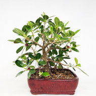 Banyan Style Green Island Ficus with Low Hanging Branches and Aerial Roots. (TWEB285) FREE SHIPPING