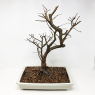 Large Ready to Bud Chinese Elm var. 'Allee. (TWEB289) FREE SHIPPING
