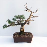 Old Gnarly Looking Juniper with Deadwood (WEB658) - FREE SHIPPING