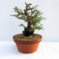 Collect Redwoods (Metasequoia / Sequoia) Pre-Bonsai (WEB665) - FREE SHIPPING