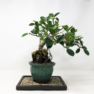 Root Over Rock Green Island Ficus  (TWEB303) FREE SHIPPING