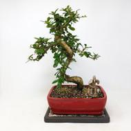 Flowering Fukien Tea (Carmona) Bonsai Tree (TWEB312) FREE SHIPPING