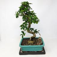 Flowering Fukien Tea (Carmona) Bonsai Tree (TWEB313) FREE SHIPPING