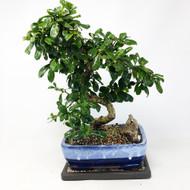 Flowering Fukien Tea (Carmona) Bonsai Tree (TWEB314) FREE SHIPPING