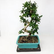 Flowering Fukien Tea (Carmona) Bonsai Tree (TWEB315) FREE SHIPPING