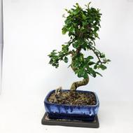 Flowering Fukien Tea (Carmona) Bonsai Tree (TWEB316) FREE SHIPPING