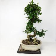Flowering Fukien Tea (Carmona) Bonsai Tree (TWEB317) FREE SHIPPING