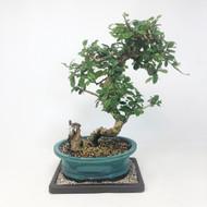 Flowering Fukien Tea (Carmona) Bonsai Tree (TWEB320) FREE SHIPPING