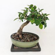 Green Island with Fantastic Trunk Movement and tight growth. (TWEB322) FREE SHIPPING