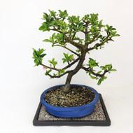 Flowering Barbados Cherry Bonsai Tree (TWEB324) FREE SHIPPING