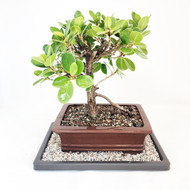 Green Island Ficus with Trunk Movement and Areal Root. (TWEB325) FREE SHIPPING