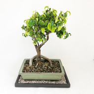 Seldom Seen Ficus Too Little. (TWEB328) FREE SHIPPING