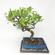 Tiger Bark Ficus with Patina Styled as S-Curve (TWEB329) FREE SHIPPING