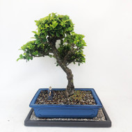 Slanted Ficus Green Gem with Patina (TWEB346) FREE SHIPPING