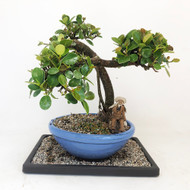 Beautiful Green Island Ficus with Full Canopy. (TWEB350) FREE SHIPPING