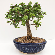 Age Rough Bark Jade Bonsai With Full Canopy. (WEB680) FREE SHIPPING
