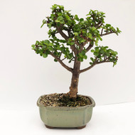 Elegant Jade with Thick Trunk and lots of Branches. (WEB683) FREE SHIPPING