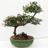 Slanted Trunk Flowering Lavender Star. (WEB692) FREE SHIPPING