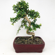Flowering Fukien Tea (Carmona) Bonsai Tree (TWEB353) FREE SHIPPING