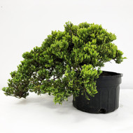 Old Field and Pot Grown Junipers (procumbens nana). (WEB698) FREE SHIPPING