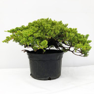 Old Field and Pot Grown Junipers (procumbens nana). (WEB699) FREE SHIPPING