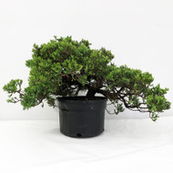 Old Field and Pot Grown Junipers (procumbens nana). (WEB700) FREE SHIPPING
