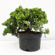 Old Field and Pot Grown Junipers (procumbens nana). (WEB701) FREE SHIPPING