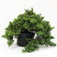 Old Field and Pot Grown Junipers (procumbens nana). (WEB703) FREE SHIPPING