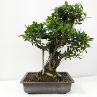 Handpicked Ficus Retusa known as the Tiger Bark Bonsai. (WEB704) FREE SHIPPING