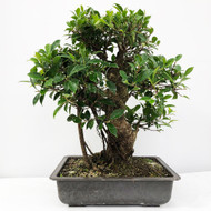 Handpicked Ficus Retusa known as the Tiger Bark Bonsai. (WEB705) FREE SHIPPING