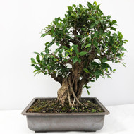 Handpicked Ficus Retusa known as the Tiger Bark Bonsai. (WEB706) FREE SHIPPING