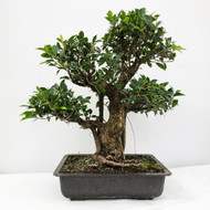 Handpicked Ficus Retusa known as the Tiger Bark Bonsai. (WEB707) FREE SHIPPING