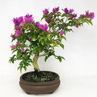 Flowering Bougainvillea (TWEB354) - FREE SHIPPING