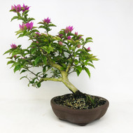 Flowering Bougainvillea (TWEB365) - FREE SHIPPING