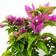 Flowering Bougainvillea (TWEB356) - FREE SHIPPING