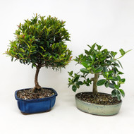 Dwarf Cherry and Green Island Ficus Duo. (TWEB357) FREE SHIPPING