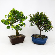 Dwarf Cherry and Wiandi Ficus Duo. (TWEB358) FREE SHIPPING