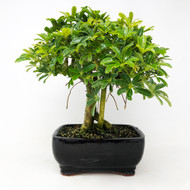 Way too cool Hawaiian Umbrella Bonsai. (TWEB360) FREE SHIPPING