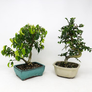 The Wild & Cray Wiandi Ficus and Chinese Elm Duo. (TWEB361) FREE SHIPPING
