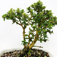 Flowering Bonsai Tree-o with Natal Plum, Bahama Berry, and Lavender Star. (TWEB363) FREE SHIPPING