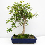 20+ Year Old Trident Maple Bonsai Tree. (WEB709) FREE SHIPPING