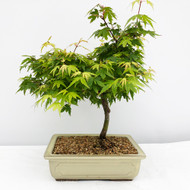 Coonara Pygmy Japanese Maple Glazed Ceramic Pot. (WEB715) FREE SHIPPING