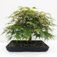 Beautiful and Full Canopy Japanese Maple. Look at those Red Branches and Leaves. (WEB723) FREE SHIPPING